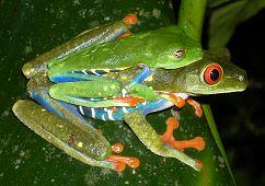 Amphibian Care Red Eyed Tree Frog Frog Agalychnis Callidryas Care
