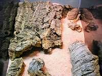 Stenodactylus enclosure