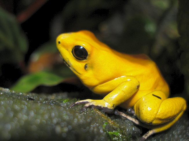 http://www.amphibiancare.com/frogs/gallery/images/henryvilaszoo/public/20.JPG