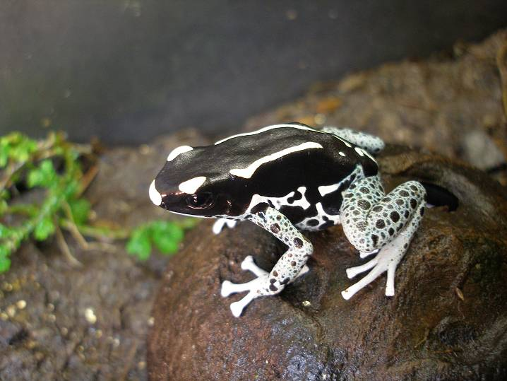 New To Dart Frogs Dendroboard
